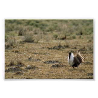 Greater sage grouse print