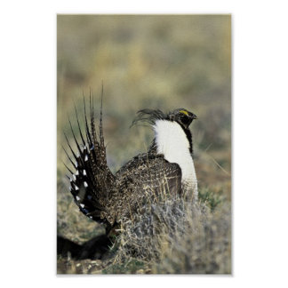 Greater sage grouse poster