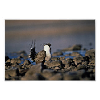 Greater sage grouse posters