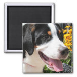 Greater Swiss Mountain Dog Marley 4