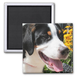 Greater Swiss Mountain Dog Marley 4 Square Magnet