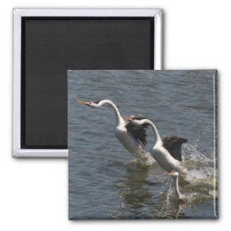 Grebe Birds Wildlife Animals Photography Square Magnet