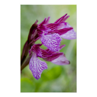 Greece, Crete. Butterfly orchid in bloom Poster