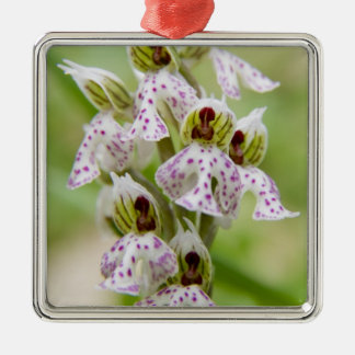 Greece, Crete. Orchid in bloom Orchis Christmas Ornament