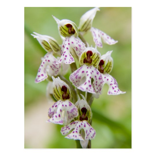 Greece, Crete. Orchid in bloom Orchis Postcard