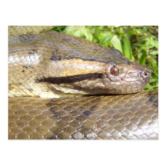 Green Anaconda Postcards