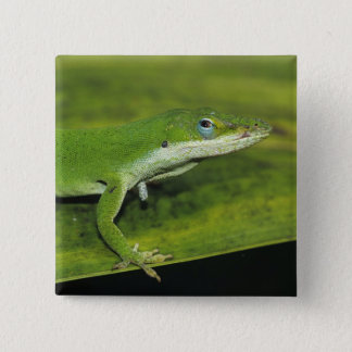 Green Anole, Anolis carolinensis, adult on palm 15 Cm Square Badge