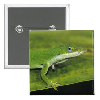 Green Anole Anolis carolinensis adult on palm Pinback Buttons