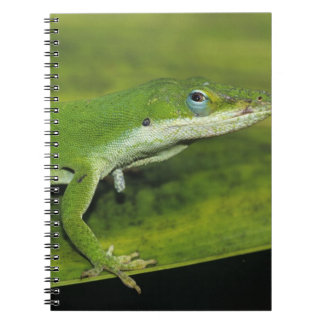 Green Anole, Anolis carolinensis, adult on palm Notebook