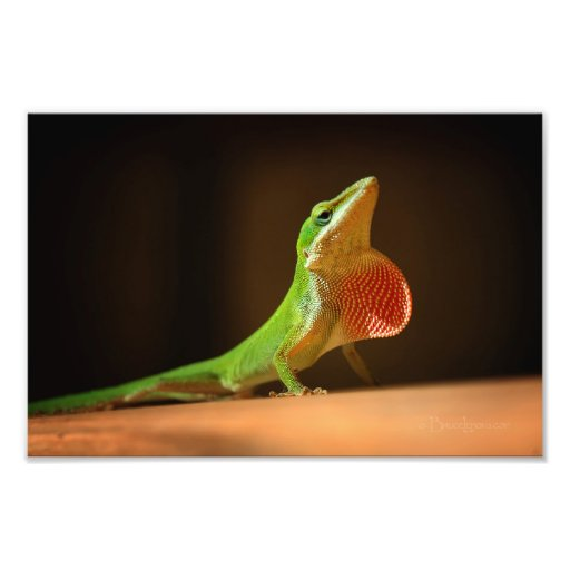 Green Anole Lizard with Red Thraot Photographic Print