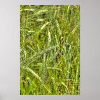 Green Barley Field HDR Photo Poster