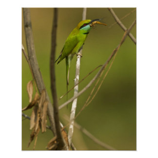 Green Bee-eater eating insect Poster