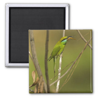 Green Bee-eater eating insect Square Magnet