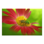 Green Bee on Painted Daisy Photograph
