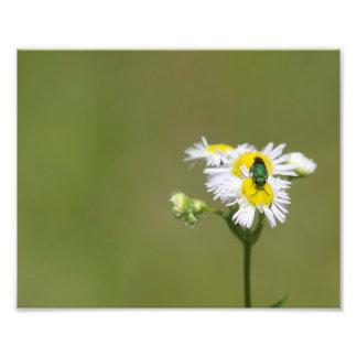 Green Bee on White Flower Art Photo