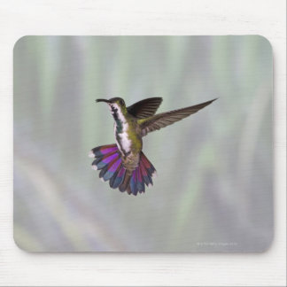 Green-breasted Mango Hummingbird Anthracocorax 3 Mouse Mat