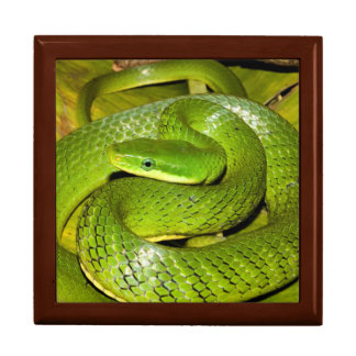 Green Bush Rat Snake Large Square Gift Box