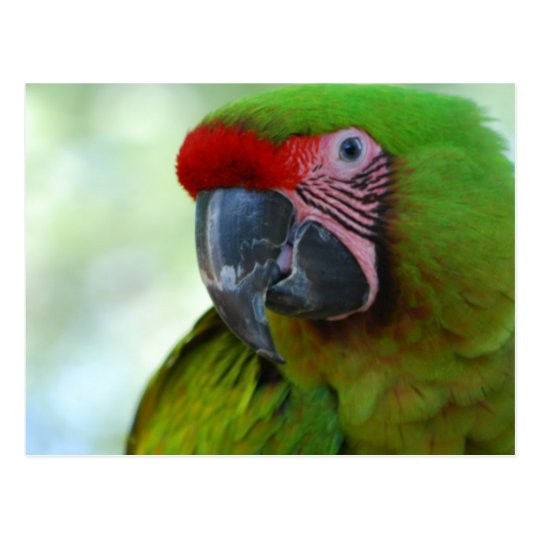 Green Cheek Conure Postcard