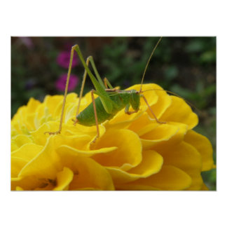 Green cricket on a Zinnia Print