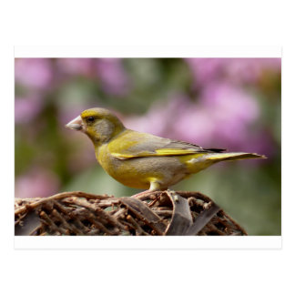 Green Finch Postcard