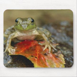 Green frog along the Buffalo Creek bank, Wet Mouse Mat