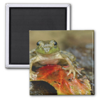 Green frog along the Buffalo Creek bank, Wet Square Magnet