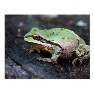 Green Frog on a Tree Stump Postcard