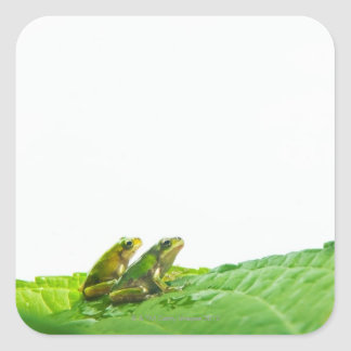 Green frogs on the leave sticker