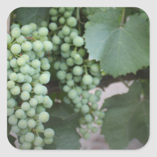 Green Grapes Growing Square Sticker