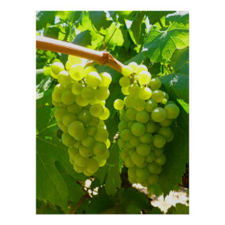 Green Grapes on the Vine Poster