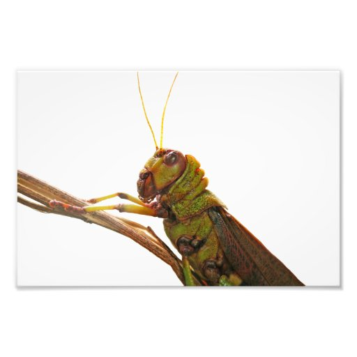 Green Grasshopper close up details Photographic Print