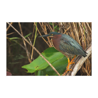 Green Heron, Butorides virescens, Anhinga Trail Canvas Print
