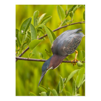 Green heron hunting from a branch post cards