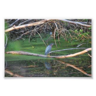Green Heron Photo Print