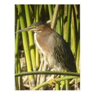 Green Heron Postcard