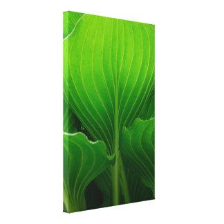 Green Hosta Leaves Canvas Print