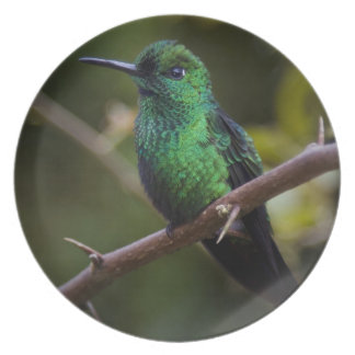 Green hummingbird Costa Rica Plate