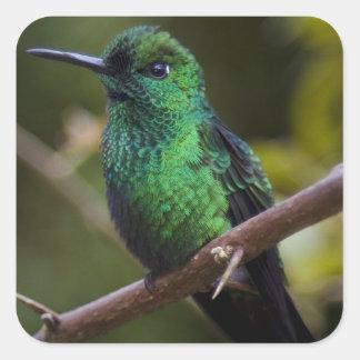 Green hummingbird Costa Rica Square Stickers
