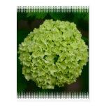 Green Hydrangea Postcard