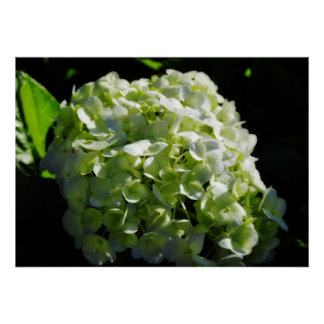 Green Hydrangeas Flowers Poster