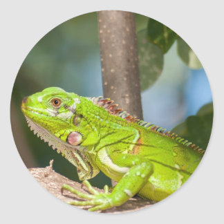 Green iguana classic round sticker