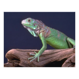 Green iguana flyer