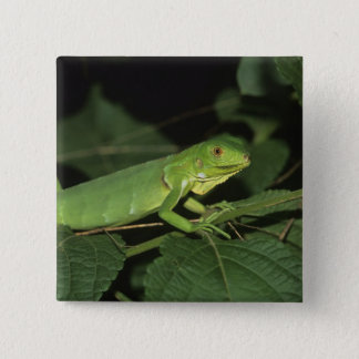 Green Iguana, (Iguana iguana), Common Iguanas 15 Cm Square Badge