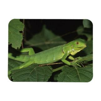 Green Iguana, (Iguana iguana), Common Iguanas Magnet