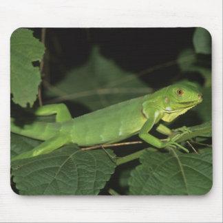 Green Iguana, (Iguana iguana), Common Iguanas Mouse Mat