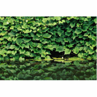 Green Ivy species in water Photo Cut Out