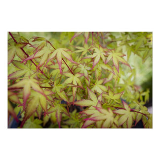 Green Japanese Maple with Red Fringe Poster