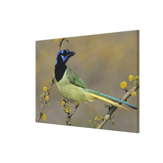 Green Jay, Cyanocorax yncas, adult on blooming Canvas Print
