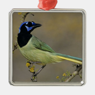 Green Jay, Cyanocorax yncas, adult on blooming Christmas Ornament