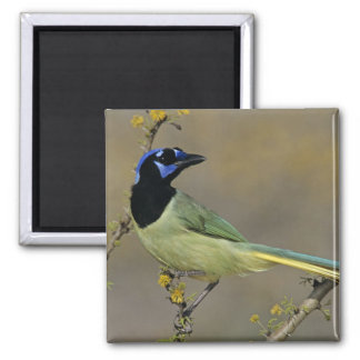 Green Jay, Cyanocorax yncas, adult on blooming Magnet
